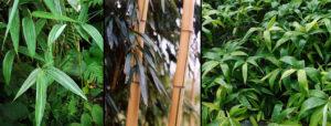 rezo plant bambou robusta