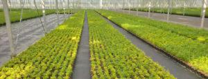 rezo plant bambou