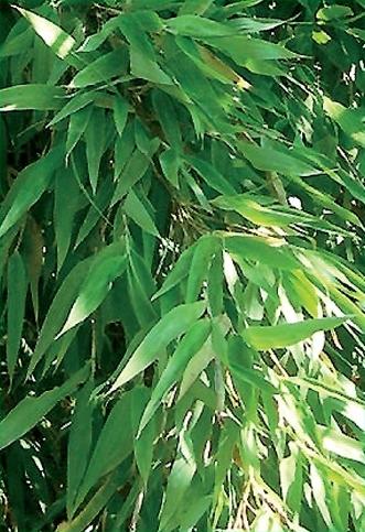 fargesia denudata bambou non tra ant rezo plant. Black Bedroom Furniture Sets. Home Design Ideas