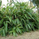 Bambou indocalamus