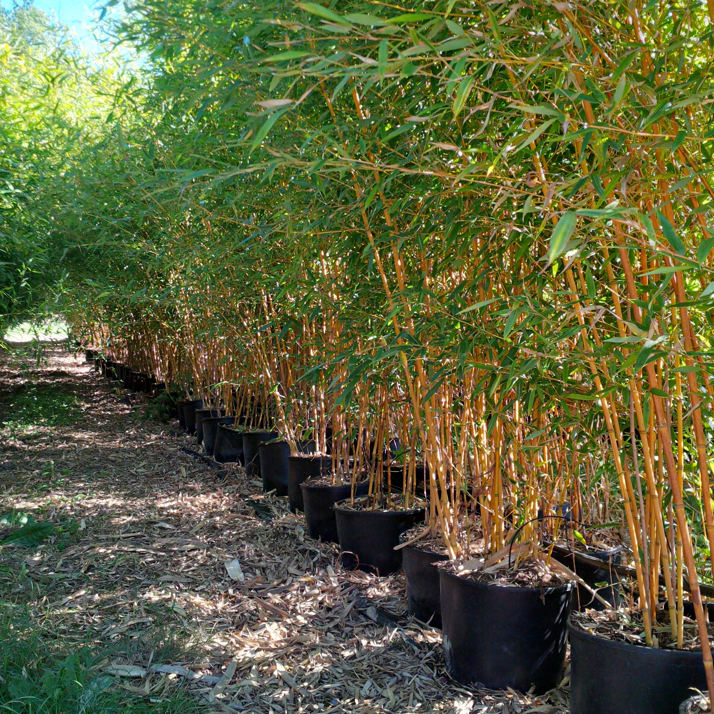 Bambou phyllostachis