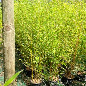 bambou robusta