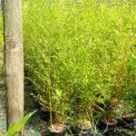phyllo aureosulcata aureocaulis