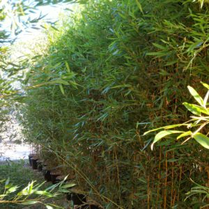 phyllostachys humiliss