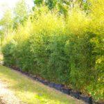 plantation de bambou