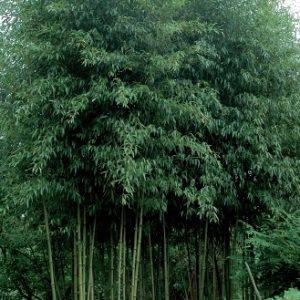phyllostachys_atrovaginata_green_perfume1