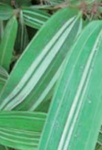 phyllostachys_aurea_albovariegata1