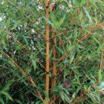 phyllostachys_aurea_holochrysa2
