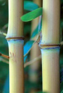 phyllostachys_aureosulcata_aureocaulis2