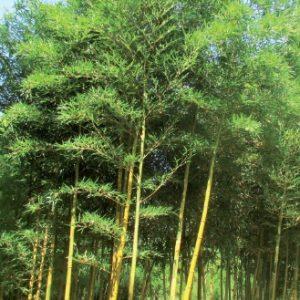 phyllostachys_bambusoides_castilloni1