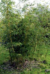 phyllostachys_bambusoides_castilloni_inversa1