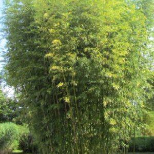 phyllostachys_bambusoides_tanakae1