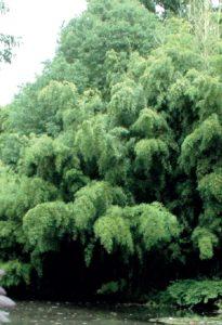 phyllostachys_nigra_boryana1