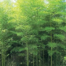 phyllostachys_pubescens1