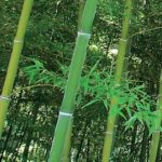 phyllostachys_pubescens2