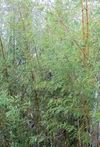 phyllostachys_pubescens_gracilis1