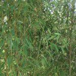 phyllostachys_pubescens_gracilis2