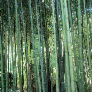 bambou phyllostachys