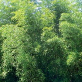 phyllostachys_viridis_houzeau1