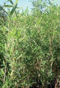 pleioblastus_juxianensis1