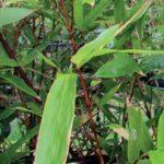 Bambou fargesia robusta campbell