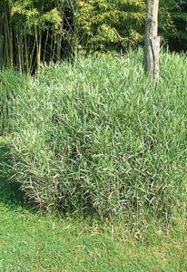 Bambou bleu