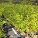 Bambou Robusta Campbell