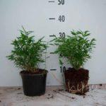 bambou pot