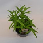 Pleioblastus viridistriatus Vagans
