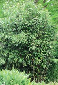 Engrais bambou - Engrais pour bambou ...