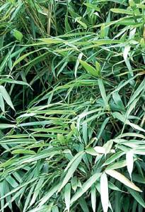 Pseudosasa-japonica-Tsutsumiana2