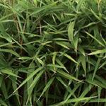 Pseudosasa-japonica2