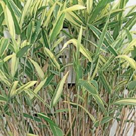 bambou blue dragon