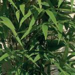 Semiarundinaria-fastuosa-Viridis2