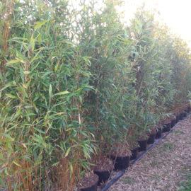 Bambou Pseudosasa