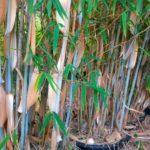 bambou france